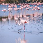Where did the Kamfers Dam's flamingos go?
